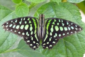 papillon graphium agamemnon