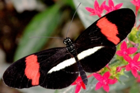 papillon heliconius melpomene