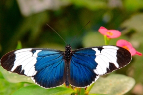 papillon heliconius sapho
